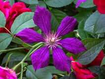 Clematis Royalty Free Stock Image