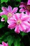 Clematis. Beautiful flowers of clematis blooming in the garden Royalty Free Stock Images