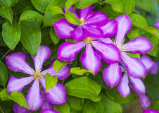Clematis. Beautiful purple flowers of clematis over green backgr Royalty Free Stock Photography