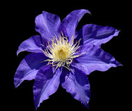 Clematis on Black Stock Image