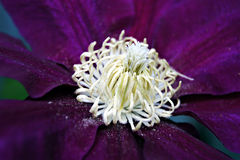Clematis Bloom Stock Images