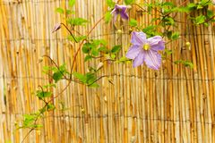 Clematis Stock Images