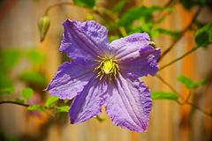 Clematis Stock Photography