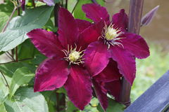 Clematis blossom violett purple Royalty Free Stock Image