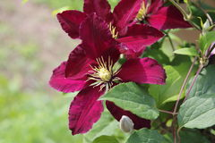 Clematis blossom violett purple Stock Photo