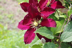 Clematis blossom violett purple Royalty Free Stock Photography