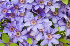 Clematis blue  flowers Royalty Free Stock Image