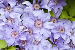 Clematis blue  flowers Royalty Free Stock Photo