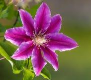 Clematis-Blume Stockfoto
