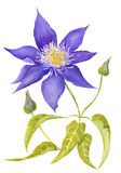 Clematis Botanical Illustration Stock Image