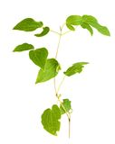 Clematis branch leaf Royalty Free Stock Image