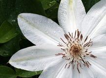 Clematis branco Foto de Stock