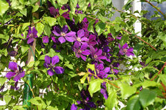 Clematis bush Royalty Free Stock Images