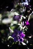 Clematis - Clematite Fotografia Royalty Free