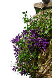 Clematis climbing arbor Stock Images