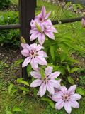 Clematis - climbing flower in pink color variant Stock Photography