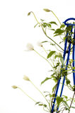 Clematis climbing plant Stock Photos