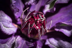 Clematis. Close up of a Clematis Flower Royalty Free Stock Photos