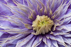 Clematis. Close up of a purple clematis Royalty Free Stock Image