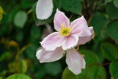 Clematis cor-de-rosa em um jardim Fotos de Stock Royalty Free