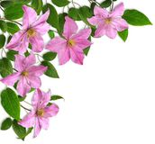 Clematis-corner composition Royalty Free Stock Photography