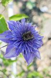 Clematis cultivar multi blue ornamental flowering plants, violet blue purple double flowers in bloom. In sunlight royalty free stock photo