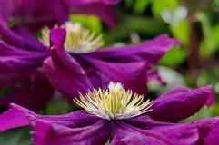 Dark purple Clematis flowers. Summer background. Dark purple clematis flowers with white finger stamens. Summer background stock photo