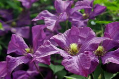 Dark purple Clematis flowers Stock Image