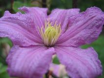 Clematis de floraison photographie stock