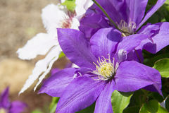 Clematis duo. White and purple clematis vines Royalty Free Stock Photos