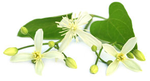 Clematis flammula or sweet-scented virgin`s bower Stock Image