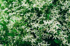 Free Clematis Flammula, White Summer Flowers Background. Awesome Beautiful Flowerbed With Small Petals. Excellent Plant For Landscaping Royalty Free Stock Image - 155247506
