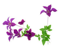 Clematis floral border Stock Image