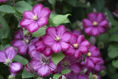 Clematis flower. Purple flowers of the clematis Royalty Free Stock Photo