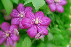 Clematis flower. Purple clematis creeper flowers blossom, center focus Stock Images