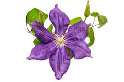 Clematis flower Royalty Free Stock Photos