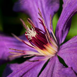 Clematis flower Royalty Free Stock Photo