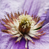 Clematis flower Stock Image