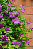 Clematis flower on the brick fence Royalty Free Stock Photo