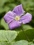 Clematis flower close up Stock Images