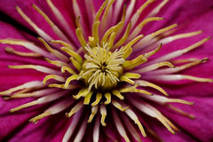 Clematis flower close-up. Pistils and stamens Royalty Free Stock Photography