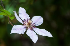 Clematis flower Stock Photography