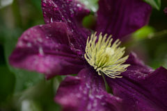 Clematis flower Royalty Free Stock Image