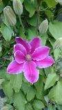 Clematis flower Stock Photo