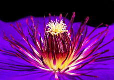 Clematis flower. Clematis flower of the family Buttercup on a black background is growing in the summer period royalty free stock image