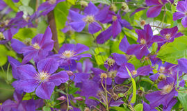 Clematis flower on a fence Royalty Free Stock Photos