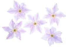 Clematis flower head Stock Images