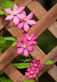 Clematis flower on lattice fence Stock Photos