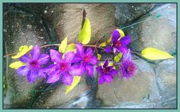Clematis. Flower and leaves on the stone wall Royalty Free Stock Photo