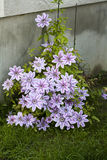 Clematis flower (Nelly Moser) Stock Images